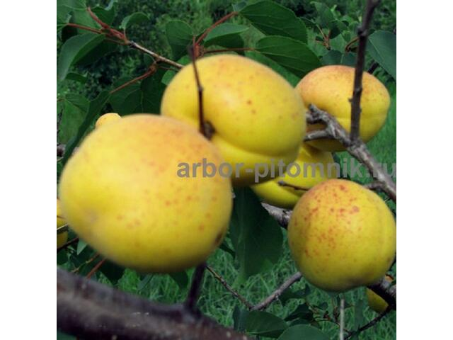 Саженцы абрикоса в Москве и Подмосковье