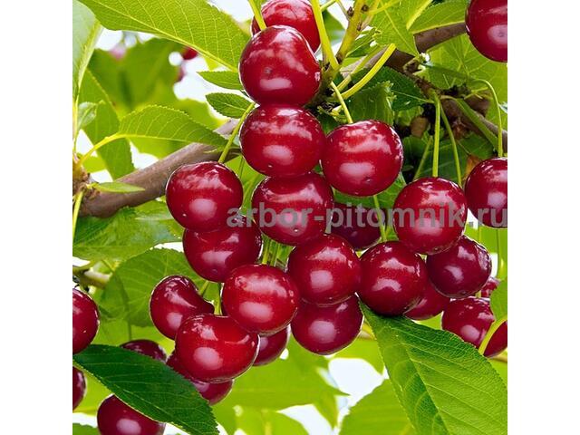 Саженцы вишни из питомника в Москве и Подмосковье