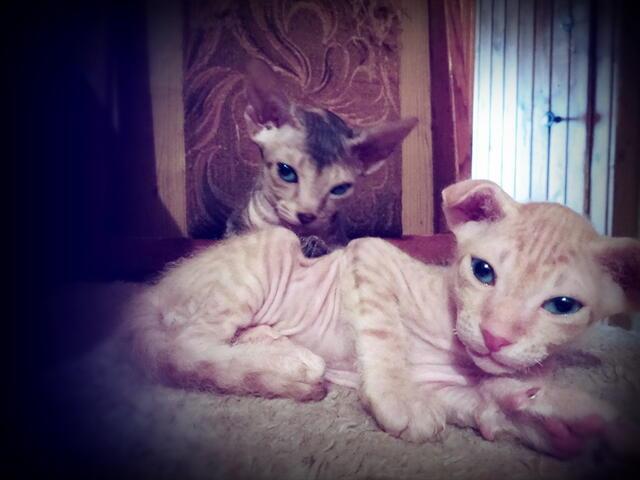 Сфинкс донской, котята