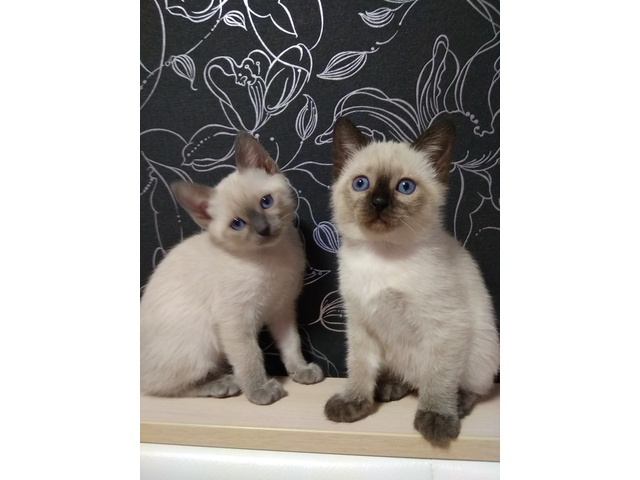 Тайские котята  Питомник тайских кошек предлагает