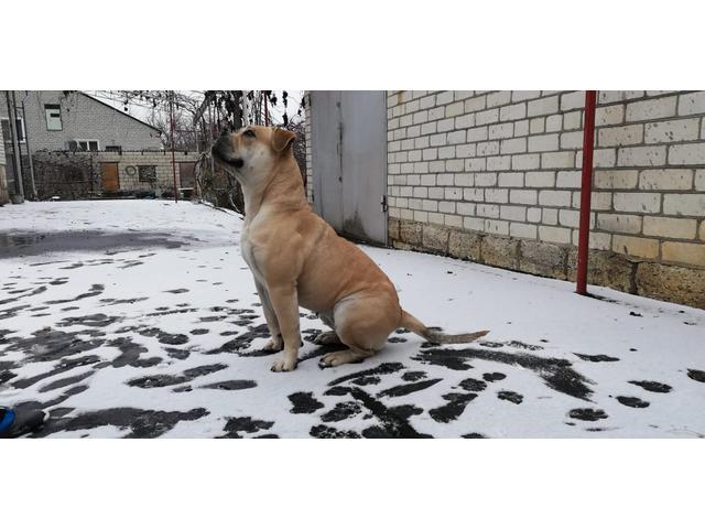щенки Ка Де Бо В Пятигорске 24.04.2019 года