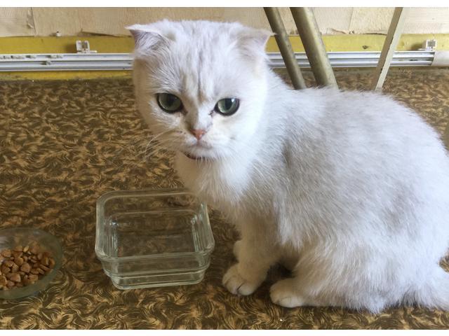Кошка Нашли кошку ,белая серебро
